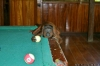 monkeys-playing-pool